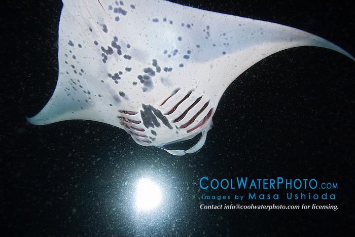 reef manta ray or coastal manta, Manta alfredi, feeding on plankton at night, note plankton filtering gills visible, off Kona Coast, Big Island, Hawaii, Pacific Ocean