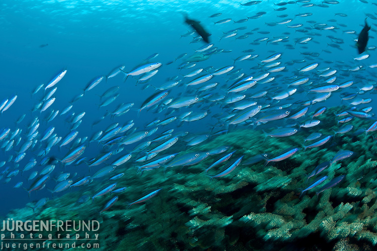 Schooling bluestreak fusiliers (Pterocaesio tile) in the reef