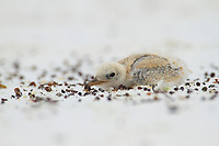 Least Tern (Sternula antillarum) chick in concealment posture on the beach. Gulf Islands National Seashore, Florida. June.