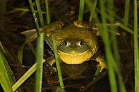 Bullfrog; Rana catesbiana; inflated read to call; PA, Philadelphia, Fairmount Park;