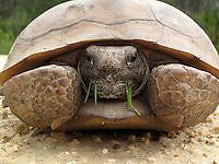 Gopher Tortoise, Ocala National Forest, Florida.