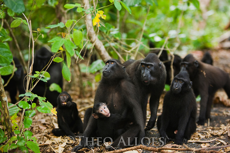 Group of crested black macaques in coastal forest, (Macaca nigra), Indonesia, Sulawesi; Endangered species, threatened through loss of habitat and bush meat trade, species only occurs on Sulawesi.
