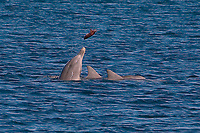 Bottlenose Dolphin, Tursiops truncatus, feeding on Australian Giant Cuttlefish, Sepia apama, and flinging them out the water. Almost as if it were a game, Whyalla, South Australia, Australia, Southern Ocean