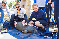 Florida Manatee, Trichechus manatus latirostris, A subspecies of the West Indian Manatee. A young manatee calf is readied for release into Three Sisters Springs after a brief period of rehabilitation by biologists and volunteers. Crystal River, Florida. No MR