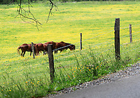 Stock image of horses grazing on a prairie behind the fence in cades cove valley in the great smoky mountain national park, America