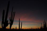 Zona de vegetacion plagada de Sahuaros que forma parte del desierto de San Nicolas en el estado de Sonora, Mexico..Area full of vegetation that is part Sahuaros Desert San Nicolas in the state of Sonora, Mexico.*Monday*06*/feb/201*.***photo:staff/NortePhoto**.*No*sale*to*third*