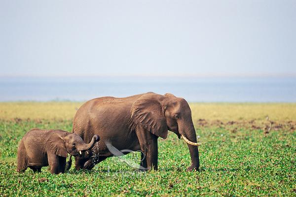 African elephant--cow with calf--feeding along shore of Lake Kariba, Africa.