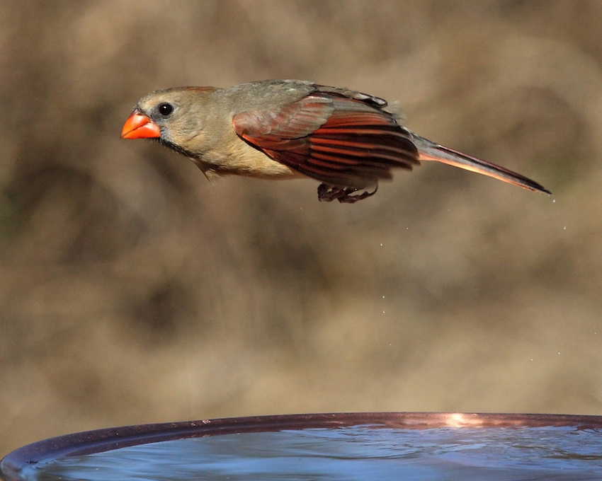 "The term ""Northern"" in the common name refers to its range, as it is the only cardinal found in the Northern Hemisphere."