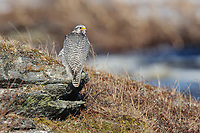 Adult male Gyrfalcon (Falco rusticolus). This bird is intermediate between a typical gray-morph and a white morph. Seward Peninsula, Alaska. May.