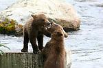 Brown bear cubs play at Katmai National Park