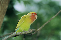 Peach-faced Lovebird,  Agapornis roseicollis, adult, South Padre Island, Texas, USA, May 2005