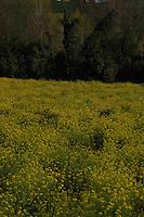 Campo di colza in fiore. Rapeseed fields in flower....