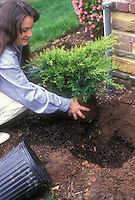 Woman planting a shrub next to house, with  planting hole, front porch, flowering bush; Old Gold Juniper gardening