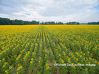 63801-11410 Sunflower field-aerial Jasper Co.  IL