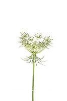 30099-00611 Queen Anne's Lace (Daucus carota) (high key white background) Marion Co. IL