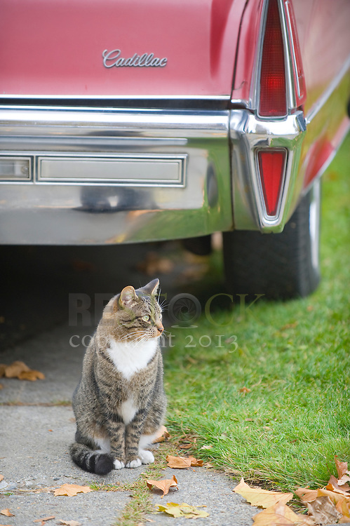 Cat Behind a Cadillac