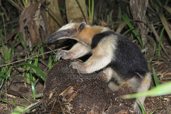 .Southern Tamandua or Lesser Anteater (Tamandua tetradactyla), adult eating at a Termite nest, Belize