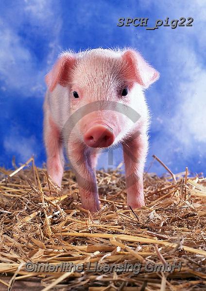 ANIMALS, REALISTISCHE TIERE, ANIMALES REALISTICOS, pigs, photos+++++,SPCHPIG22,#a#, EVERYDAY