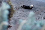 Sea Otter (Enhydra lutris) female on beach, Elkhorn Slough, Monterey Bay, California