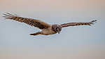Canada, British Columbia, Fraser River Delta, northern harrier or marsh hawk (Circus hudsonius or Circus cyaneus hudsonius)