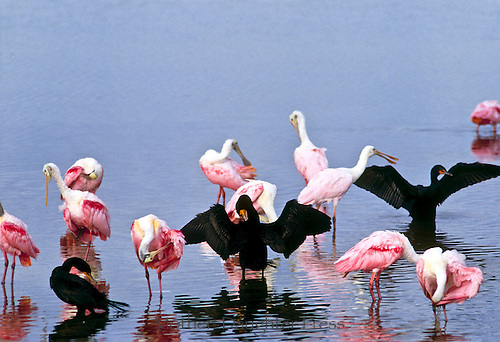 Cormorants and Roseate spoonbills preening and drying their wings, Gulf coast USA