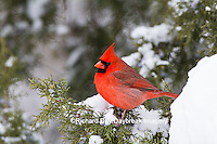 01530-21606 Northern Cardinal (Cardinalis cardinalis) male in Juniper tree (Juniperus keteleeri) in winter Marion Co. IL