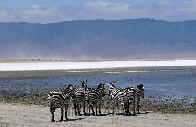 A herd of Common Plains Zebra (Grant's) by the salt pan of Lake Magadi in the  Ngorongoro Crater, Tanzania RESERVED USE - NOT FOR DOWNLOAD -  FOR USE CONTACT TIM GRAHAM