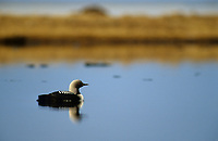 Pacific Loon (Gavia pacifica) on a tundra pond. Colville River Delta, Alaska. June.