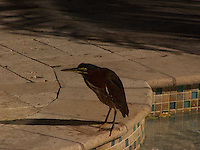 Little Green Heron seen through the sliding glass doors
