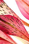 Alstroemeria petals, floral abstraction