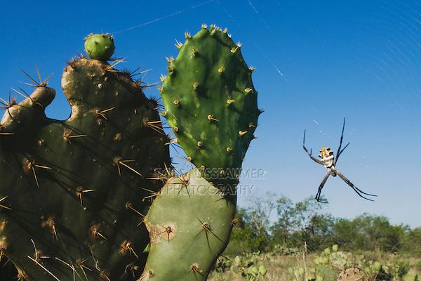 Silver Argiope (Argiope argentata), female in web, Rio Grande Valley, Texas, USA