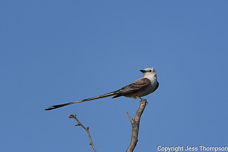 Scissor-tailed Flycatcher, San Angelo State Park