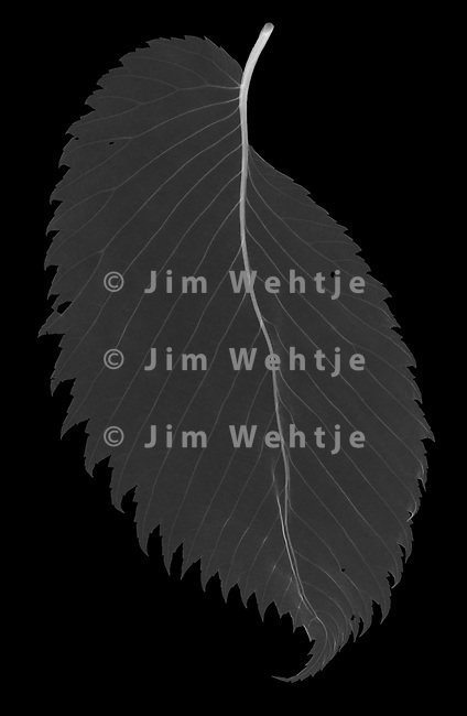 X-ray image of a dried American elm leaf (Ulmus americana, white on black) by Jim Wehtje, specialist in x-ray art and design images.