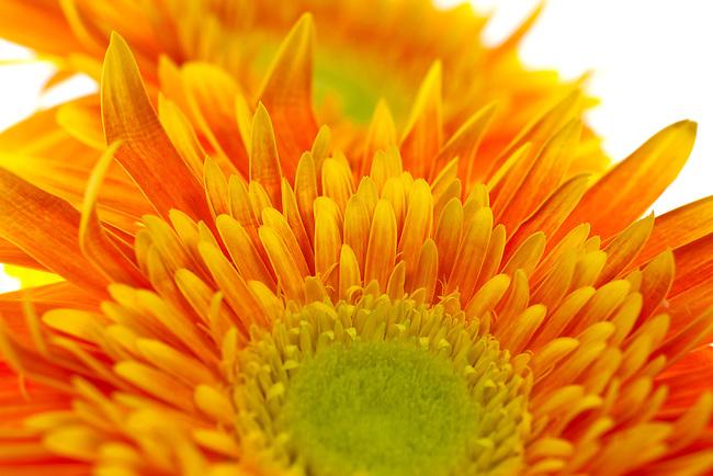close up, macro of a yellow and orange gerbera