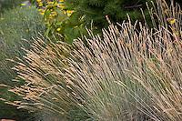 Festuca glauca (blue fescue grass) flowering in Colorado meadow garden design by Tom Peace