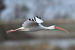 White Ibis, St. Marks National Wildlife Refuge, Florida