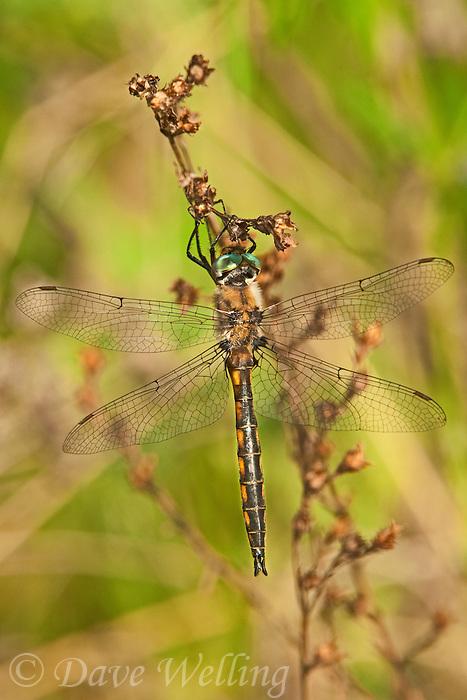 310880010 a wild male dot-winged baskettail dragonfly epitheca tetragoneuria petechialis near caddo lake in marion county texas