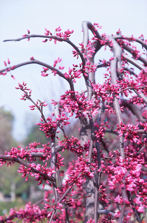 Cercis canadensis Forest Pansy Eastern Redbud tree in pink spring flowers bloom