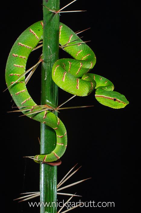 Adult Wagler's Pit Viper (Tropidolaemus wagleri) in thorns on the stemless Asam Paya Palm (Eleiodoxa conferta). Bako NP, Sarawak, Borneo.