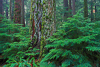 Coastal old-growth Douglas fir (Pseudotsuga menziesii) & young western hemlock trees (Tsuga heterophylla) in Cathedral Grove, MacMillan Provincial Park,Vancouver Island, British Columbia, Canada.