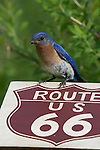 Male eastern bluebird perched on a route 66 sign