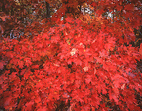 Maple tree in autumn, Buffalo National River, Arkansas, Ozark Mountains