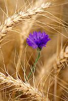 Bachelor Button flower in wheat field. Near Alpine Oregon