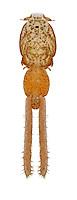 parasitic copepod<br /> caligus elongatus