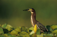 Green Heron, Butorides virescens, adult on Yellow Water Lily pads, Welder Wildlife Refuge, Sinton, Texas, USA, June 2005