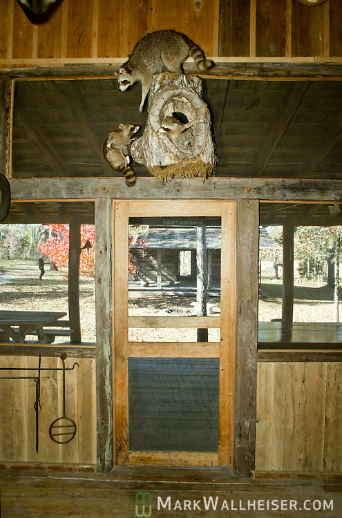"A photograph of mounted raccoon ""the old He Coon"" inside of the cook shack at Jubilee, the farm belonging to Lawton Chiles.   Jubilee is where Chiles' grave is located fifteen miles from the Florida Capitol.  This is the interior of the cook shack.  After 40 years in public service, Chiles died at the end of his second term as Florida governor, the old ""he coon"" is evident throughout the 1827 cabin and hunt camp under a stand of oaks in Leon County."