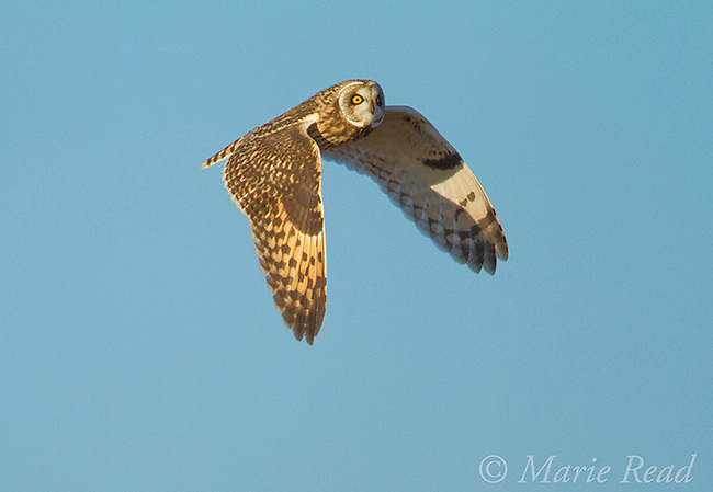 Short-eared Owl (Asio flammeus) in flight, New York, USA<br />