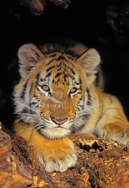SIBERIAN TIGER CUB 4 months old..(Panthera tigris altaica).