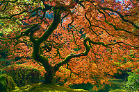 The iconic Japanese maple tree in Oregon's botanical gardens.<br />