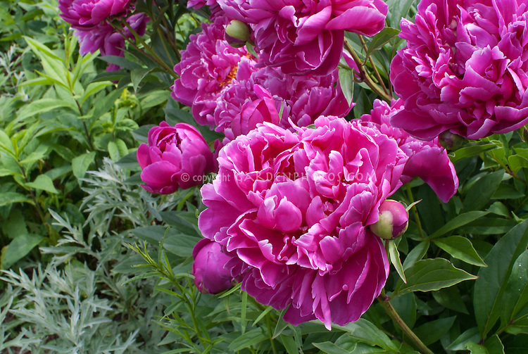 Paeonia peonies pink flowers, Paeonia lactiflora herbaceous perennial fragrant scented blooms